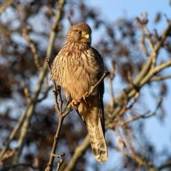 Roofvogel IV