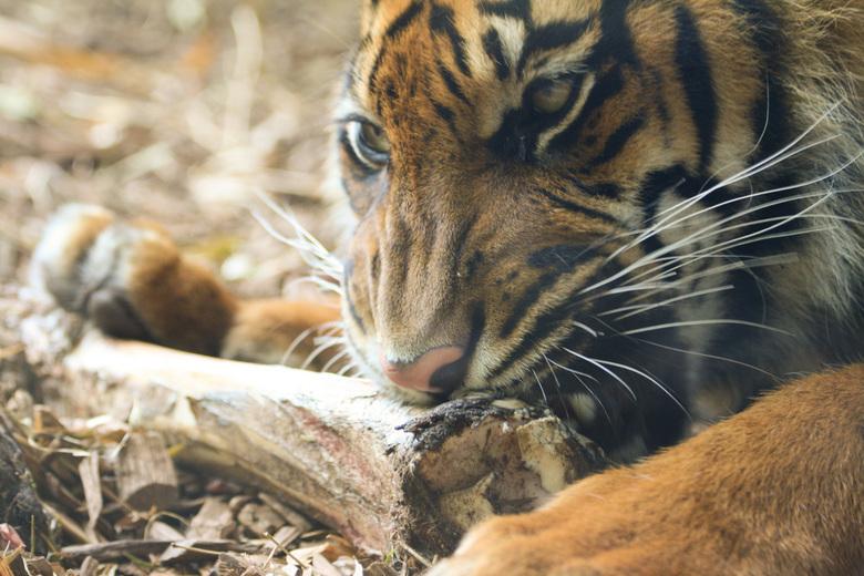 Sumatraanse tijger - De sumatraanse tijger van Blijdorp, Panthera tigris sumatrae