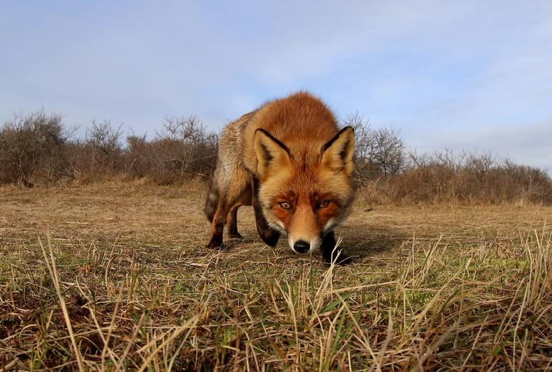 Vos  - Deze foto van de vos genomen met groothoek