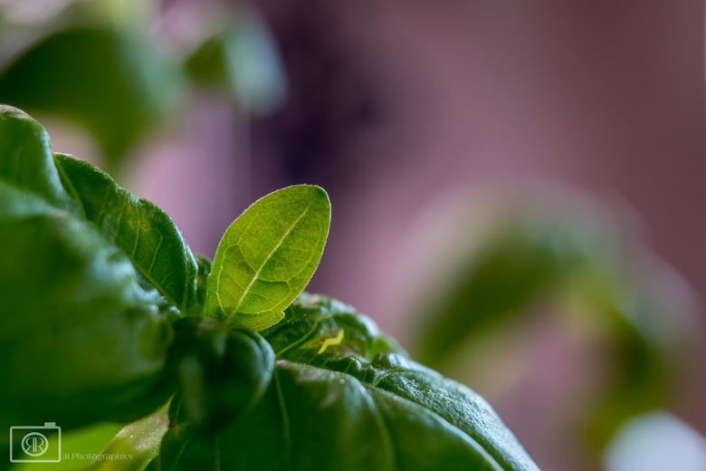 Blaadje basilicum - Op een regenachtige dag een keer mijn macroringen in huis uitgeprobeerd.<br /> Ik vind deze persoonlijk een leuk foto, eenvoudig