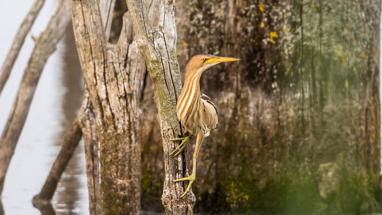 Woudaap (vrouwtje)
