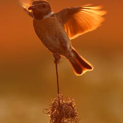 Bird of gold!