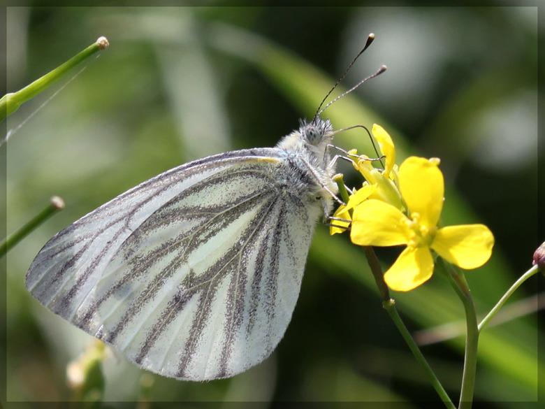 Witje - Eindelijk een vlindertje en dan nog niet eens met de marcro lens maar met de standaard 50 mm.