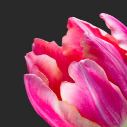 Stoere tulp