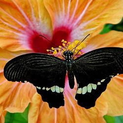 Papilio in zwitserland
