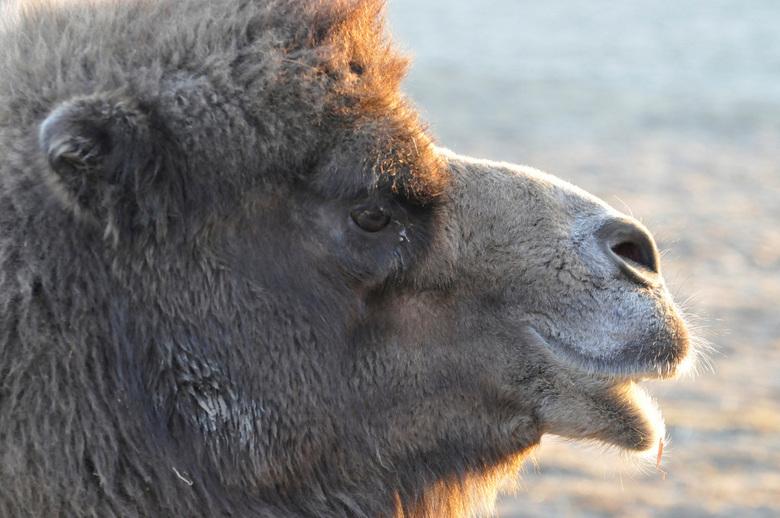 kameel - In onze buurt was het circus en foto's gemaakt van de kamelen aan het eind van de middag.