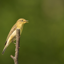 Andere foto van hetzelfde vogeltje...