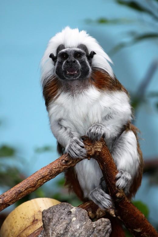 Pinché aapjes,  ernstig Bedreigd  !!!! - Pinché  aapje  bedreigd  met uitsterven !!!<br /> Door het kappen van hout.<br /> <br /> Leefgebied  regen