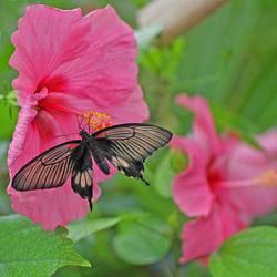 chinese roos met vlinder 2