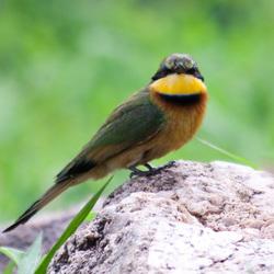 Bee-eater, bijeneter