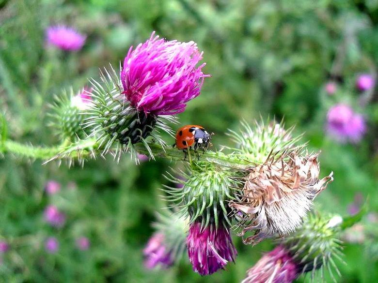 Lieveheersbeestje en een grote distel...