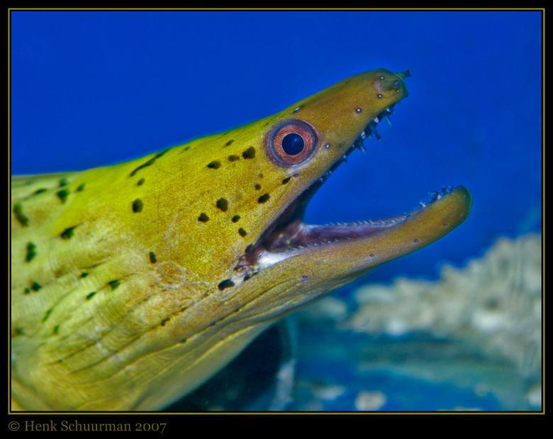 Morena in aquarium - Hallo allemaal,<br /> Wederom een foto uit de rifwachter in Hilversum. Een morena die heftig met zijn mond open en dicht zat te