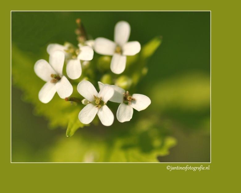 Kleine witte bloem - Bloemetjes