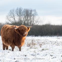 Schotse hooglander kleurt rood.
