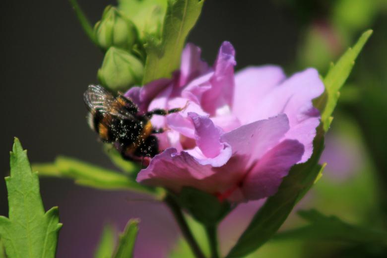 Covered In Life - De bij doet zijn best alle bloemen af te gaan voor de zon het te warm maakt. Hij zit vol met pollen.