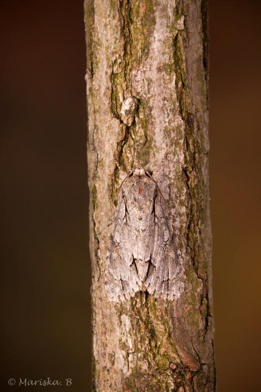 drietand vlinder - ...ja, echt...<br /> drietand Acronicta tridens