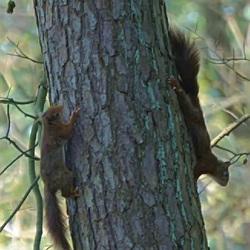 spelende eekhoorns