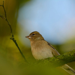 Vink-Finch (Fringilla coelebs)