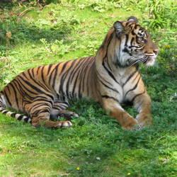 Sumatraanse tijger 3