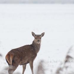 Edelhert in de sneeuw