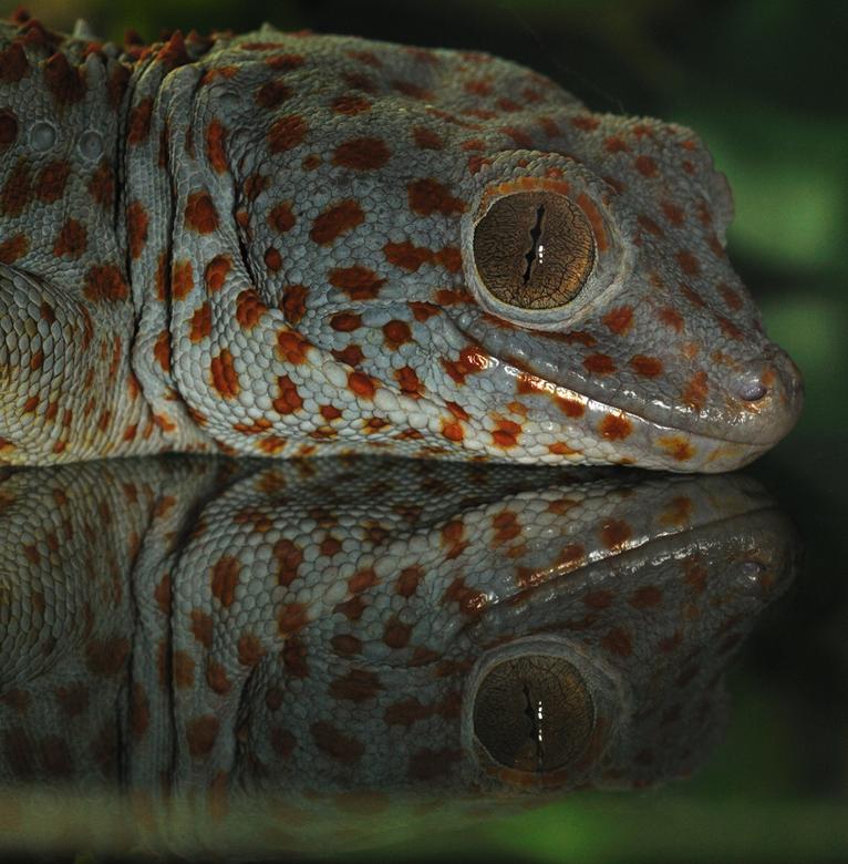 Reptiel gespiegeld - Ook weer door glas gefotografeerd en flits gebruikt.<br /> Kwartslag gedraaid en je krijgt dit aardige effect. <br /> Meer weet