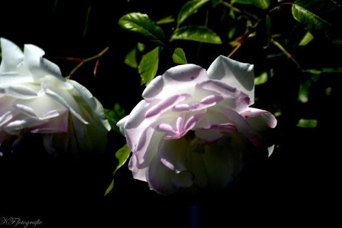 rose - Met het heerlijke weer van vandaag lekker buiten geweest en enorme rozen weten te vinden.. dit moest natuurlijk vast gelegd worden!