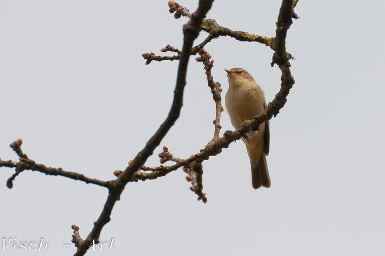 Tjiftjaf  - Een mooie tjiftjaf zat heerlijk te fluiten in de boom. Hierdoor makkelijk te herkennen.<br /> Zelfde plek als waar ik de eerste met veel