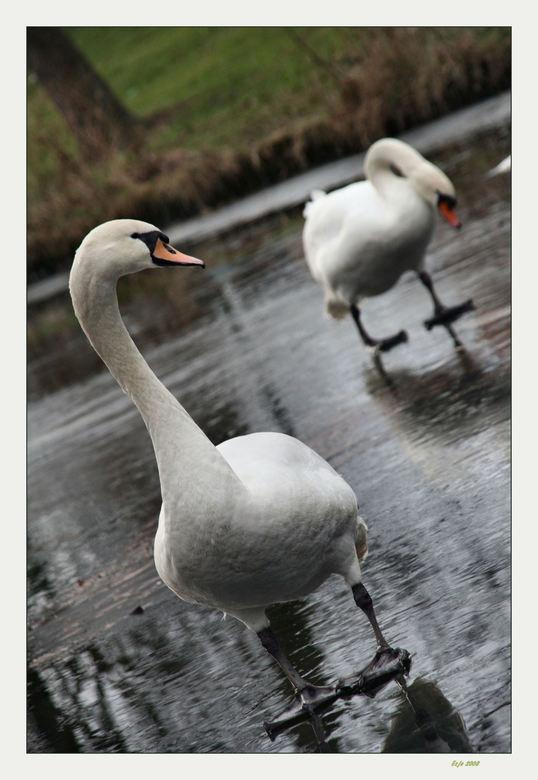 Verlegen - Deze zwaan lijkt wel verlegen door de aandacht die hij krijgt of omdat hij zich zo onhandig voelt op het ijs. <br /> <br /> Wel even getw
