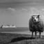 Texel Sheep B/W II