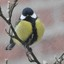 Koolmees - Parus major