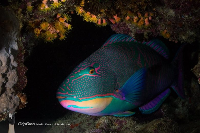 Papegaaivis - Tijdens een nachtduik in Port Ghalib kwam ik deze slapende papegaaivis tegen in een soort grotje.