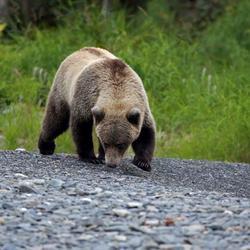 Jonge Grizzly