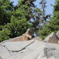 Marmot at Mount Rainier Washington
