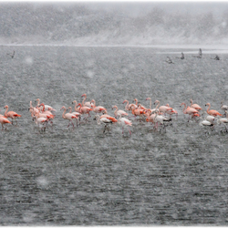 flamingo's in de sneeuwstorm