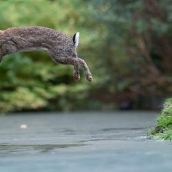 springend konijn