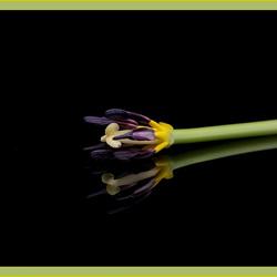 Tulp zonder blaadjes.