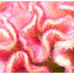 Roze...!