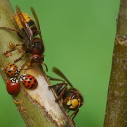 Lieveheersbeestjes en hoornaars