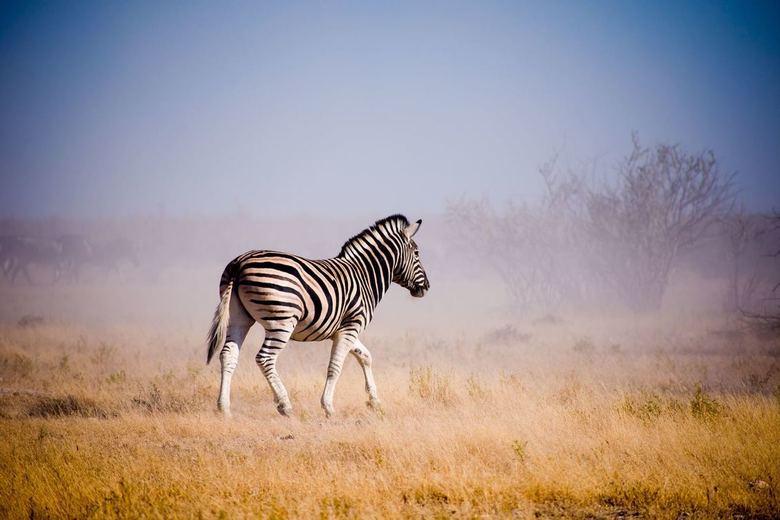 Zebra - Zebra op hol in Ethosa national park Namibie