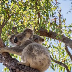 Koala met kleintje