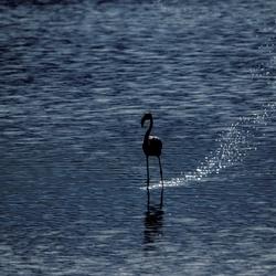 Flamingo aan de wandel