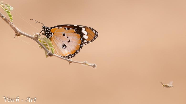 Afrikaanse Monarch vlinder - Afrikaanse Monarch vlinder in Bogandé