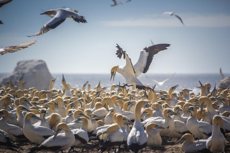 Landingsgestel uit. - Op Bird's Island in Zuid Afrika broedt een kolonie Jan van Genten. Mooi om te zien hoe een vogel landt tussen de honderden