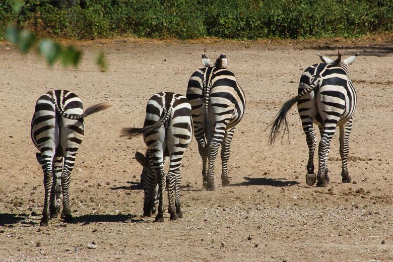 Allemaal streepjes... - Het streeppatroon van de Grant zebra loopt ook door in de staart. Soms lijkt het daardoor wel alsof deze is ingevlochten.