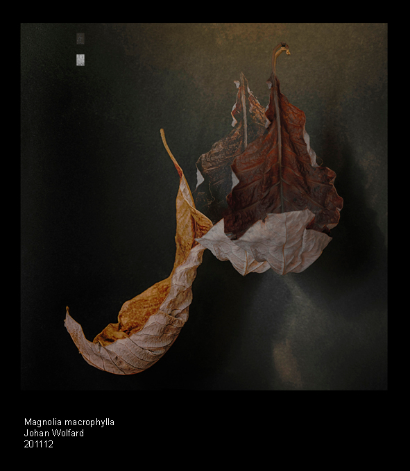 Magnolia macrophylla_DSC0643 - tabletop - 3 foto's - hdr - daglicht en kunstlicht