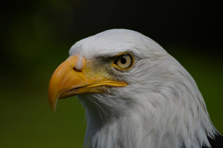 Witkop Adelaar - Witkop adelaar in de Oliemeulen, Tilburg