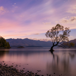 Cotton Candy Wanaka Tree