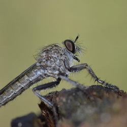 Promachus Nigrialbus (Roofvlieg)