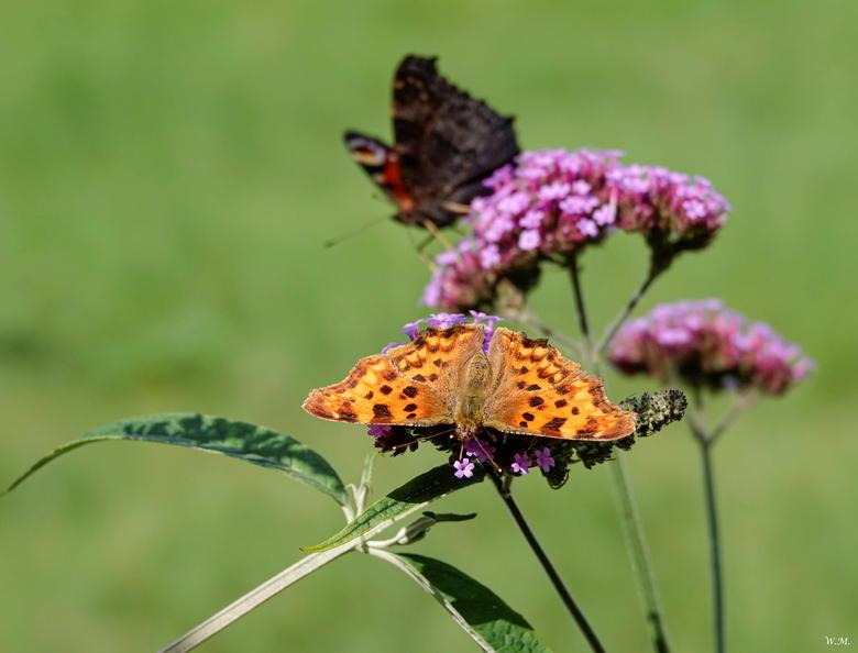 Vlinders - Het was een mooie zonnige dag dus er waren veel vlinders in de weer vandaag. Altijd mooi om te zien.<br /> De voorste vlinder is de Gehakk