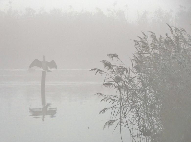 Aalscholver - Aalscholver op paal in de mist